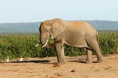 Klipska fåglar flyger den afrikanska Bush elefanten Fotografering för Bildbyråer