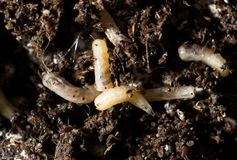 Klipska larver för vit i jorden Makro royaltyfri bild
