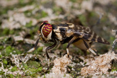 klipska platystomatidae Royaltyfria Bilder