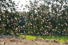 klipska sparrows Arkivbild