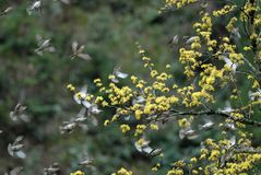klipska sparrows Royaltyfri Fotografi
