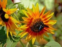 Klipskt sammanträde på en svart synad susan blommarudbeckia Royaltyfri Foto