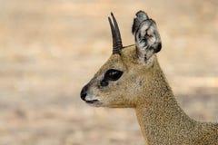 klipspringer羚羊的画象 免版税库存照片