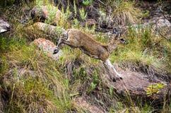 klipspringer羚羊飞跃在比赛储备的一个山坡下 免版税库存照片