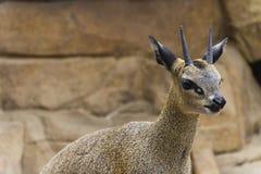 Klipspringer羚羊(Oreotragus oreotragus) 库存照片