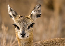 Klipspringer Royalty Free Stock Images