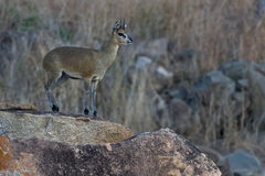 Klipspringer Royalty Free Stock Photo