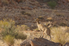 Klipspringer Royalty-vrije Stock Fotografie