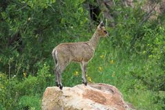 Klipspringer Royalty Free Stock Photos