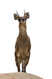 Klipspringer Images stock