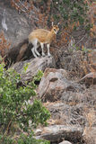 Klipspringer Royalty Free Stock Image