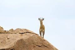 Klipspringer. Standing on a rock Stock Image