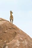 Klipspringer. Standing on a rock Stock Photography