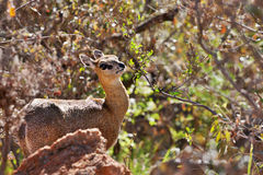 Klipspringer Stock Images