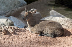 Klipspringer |Antelope Royalty Free Stock Images