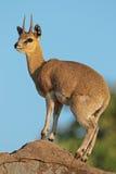 Klipspringer antelope on rock Royalty Free Stock Image