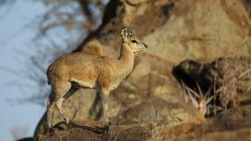 Klipspringer antelope on rock stock video
