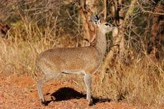 Klipspringer antelope Stock Photos