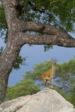 Klipspringer auf Felsen Lizenzfreies Stockfoto