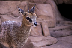 A Klipspringer. A beautiful desert Klipspringer.  (Oreotragus oreotragus)  A species of African antilope Royalty Free Stock Photo