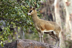 Klipspringer - Botswana. A Klipspringer in the Savuti area of Botswana stock image