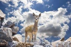 Klipspringer (Buck) on Rocks Against A Blue Sky Stock Image