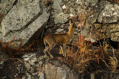 Klipspringer on the cliff face. The Klipspringer, one of Africa's smaller antelopes Stock Photo