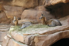 Klipspringer d'Afrique Photo stock
