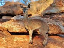 Klipspringer dans Mapungubwe NP en Afrique du Sud Photographie stock libre de droits