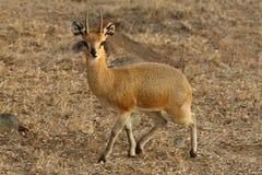 Klipspringer, das auf sandiger Bank in Nationalpark Kruger steht stockbilder