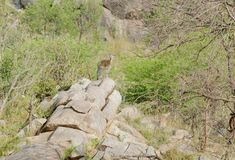 Klipspringer en un afloramiento de roca Imagen de archivo