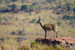 Klipspringer female Royalty Free Stock Images