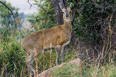Klipspringer in green Stock Afbeelding