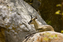 Klipspringer jumper taking sun in Kruger National Park, South Africa Royalty Free Stock Photo