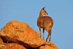 Klipspringer in Mapungubwe NP in South Africa Stock Photos