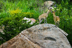 Klipspringer na Koppie Zdjęcie Royalty Free