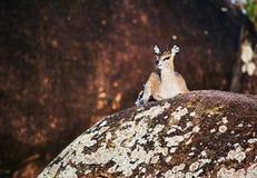 Klipspringer na skałach, Serengeti, Tanzania w Afryka Obrazy Royalty Free