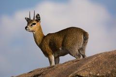 Klipspringer na skale Zdjęcie Royalty Free
