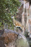 Klipspringer in Namibia Royalty Free Stock Photo