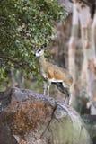 Klipspringer in Namibia. Klipspringer (Oreotragus oreotragus) in Etosha N.P. in Namibia royalty free stock photo