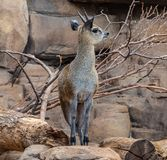 Klipspringer, native Eastern and Southern Africa. As seen at the Desert dome of Henry Doorly Zoo Omaha Nebraska. Usually found in rocky terrain and feeds royalty free stock image