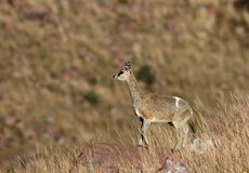 Klipspringer: nauka -- Oreotragus oreotragus Fotografia Royalty Free