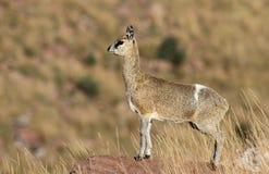 Klipspringer: nauka -- Oreotragus oreotragus Zdjęcie Royalty Free