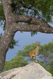 Klipspringer op rots Royalty-vrije Stock Foto