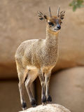 Klipspringer (Oreotragus) zdjęcie royalty free