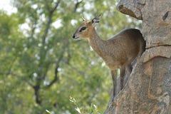Klipspringer (Oreotragus) Fotografia Stock