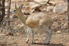 Klipspringer (Oreotragus) Zdjęcie Stock