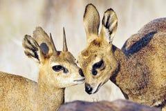 Klipspringer, Klipspringer, oreotragus di Oreotragus fotografie stock libere da diritti