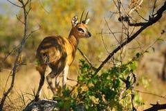Klipspringer (Oreotragus oreotragus) Royalty Free Stock Image