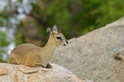 Klipspringer (Oreotragus oreotragus) 图库摄影